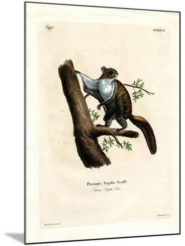 Javan Flying Squirrel--Mounted Giclee Print