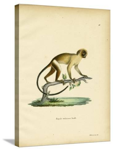 Black-Tailed Marmoset--Stretched Canvas Print