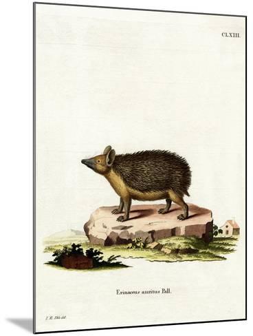 Long-Eared Hedgehog--Mounted Giclee Print
