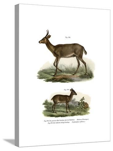 Bohor Reedbuck, 1860--Stretched Canvas Print