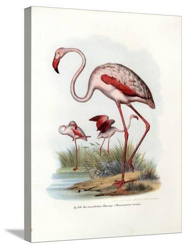 Greater Flamingo, 1864--Stretched Canvas Print