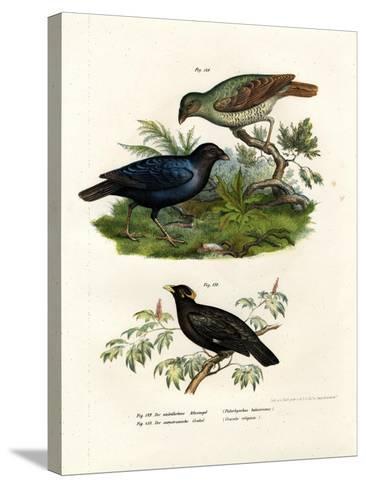 Satin Bower Bird, 1864--Stretched Canvas Print
