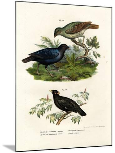 Satin Bower Bird, 1864--Mounted Giclee Print