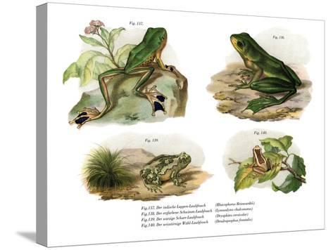 Reinwardt's Flying Frog--Stretched Canvas Print