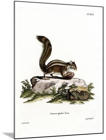 Barbary Ground Squirrel--Mounted Giclee Print
