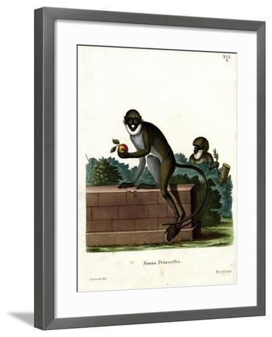 Lesser Spot-Nosed Monkey--Framed Art Print