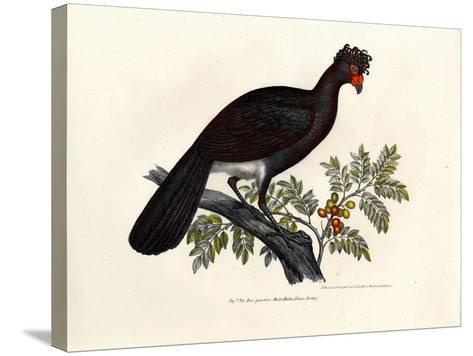 Black Curassow, 1864--Stretched Canvas Print
