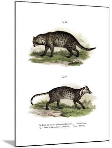 African Civet, 1860--Mounted Giclee Print
