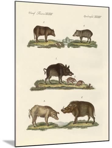 Different Kinds of Pigs--Mounted Giclee Print