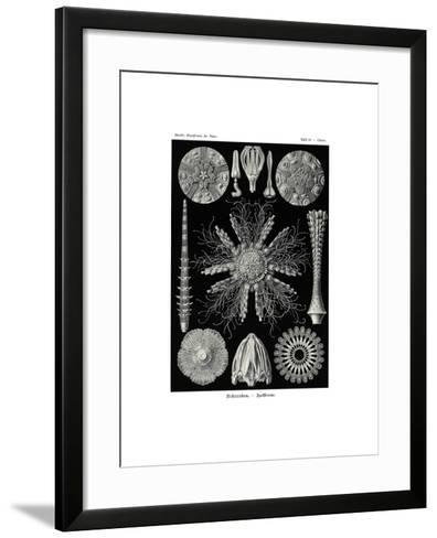 Echinidea, 1899-1904--Framed Art Print