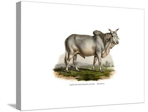 Malian Zebu Cow, 1860--Stretched Canvas Print