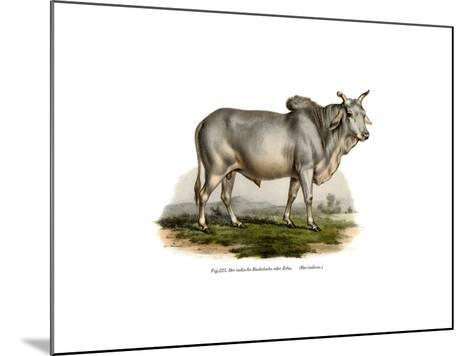 Malian Zebu Cow, 1860--Mounted Giclee Print