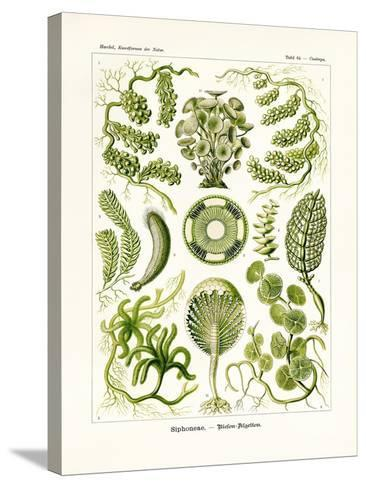 Siphoneae, 1899-1904--Stretched Canvas Print