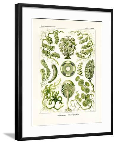 Siphoneae, 1899-1904--Framed Art Print
