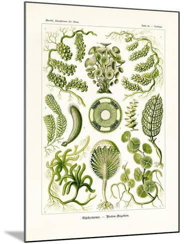 Siphoneae, 1899-1904--Mounted Giclee Print