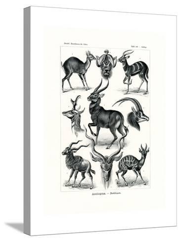 Antilopina, 1899-1904--Stretched Canvas Print