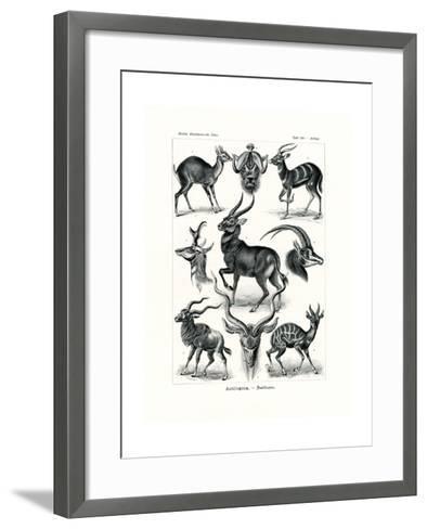 Antilopina, 1899-1904--Framed Art Print