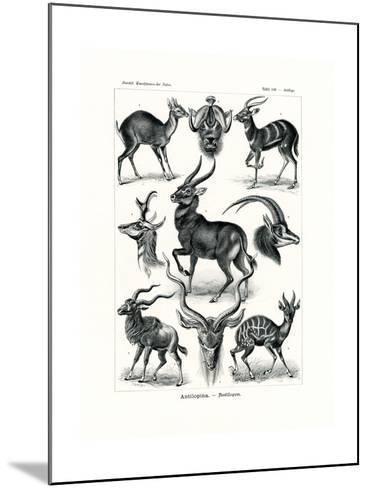 Antilopina, 1899-1904--Mounted Giclee Print