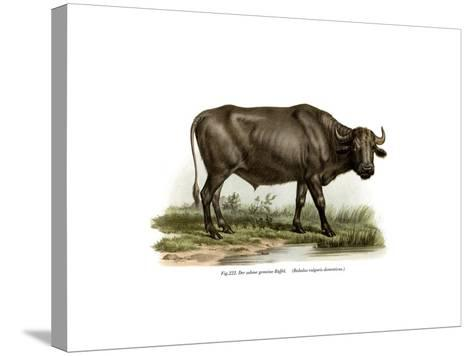 Domestic Buffalo, 1860--Stretched Canvas Print