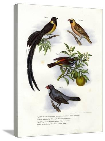Paradise Whydah, 1864--Stretched Canvas Print