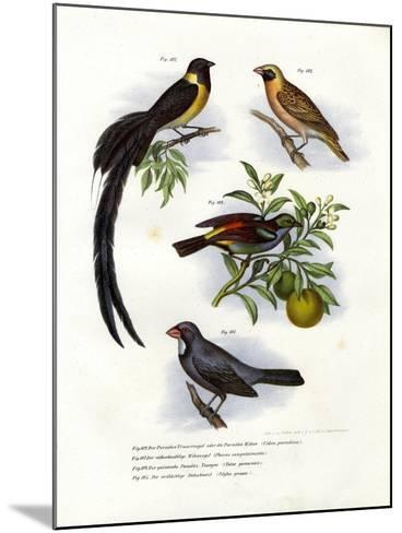 Paradise Whydah, 1864--Mounted Giclee Print