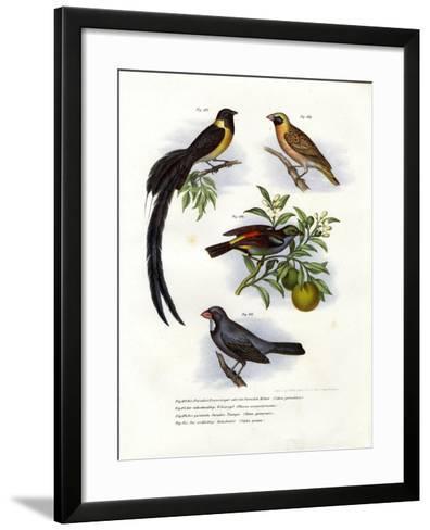 Paradise Whydah, 1864--Framed Art Print