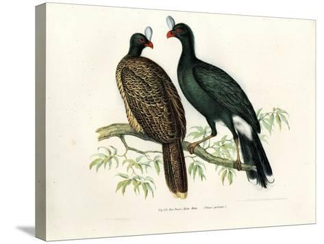 Galeated Curassow, 1864--Stretched Canvas Print