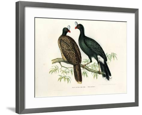 Galeated Curassow, 1864--Framed Art Print