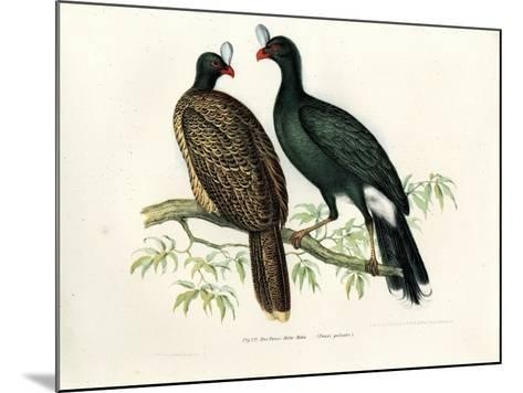 Galeated Curassow, 1864--Mounted Giclee Print