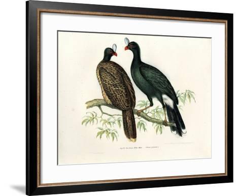 Galeated Curassow, 1864--Framed Art Print