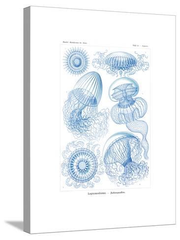 Leptomedusae, 1899-1904--Stretched Canvas Print