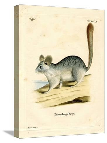 Long-Tailed Chinchilla--Stretched Canvas Print
