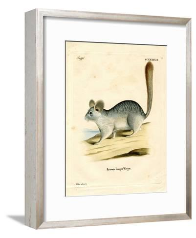 Long-Tailed Chinchilla--Framed Art Print