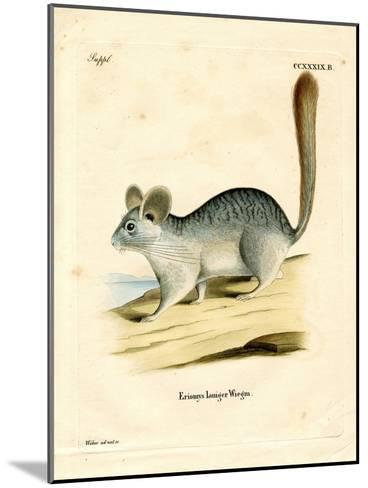 Long-Tailed Chinchilla--Mounted Giclee Print