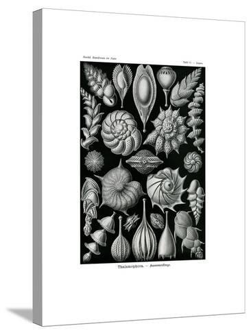Thalamophora, 1899-1904--Stretched Canvas Print