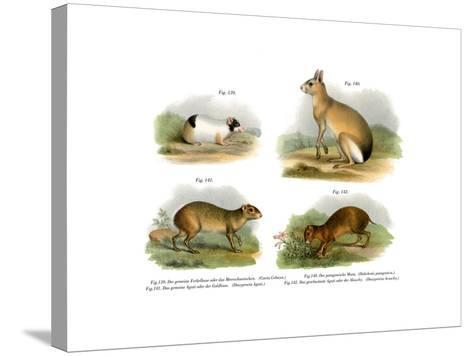 Guinea Pig, 1860--Stretched Canvas Print