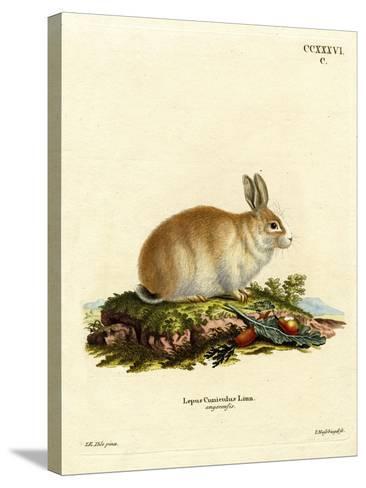 Angora Rabbit--Stretched Canvas Print
