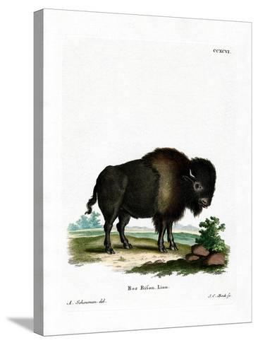American Bison--Stretched Canvas Print