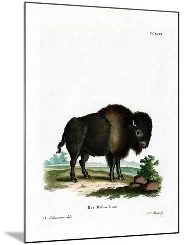 American Bison--Mounted Giclee Print