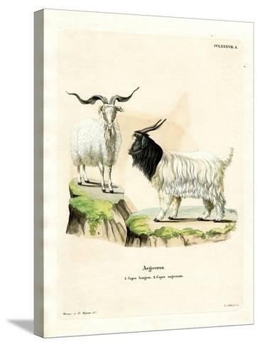 Cashmere Goat--Stretched Canvas Print