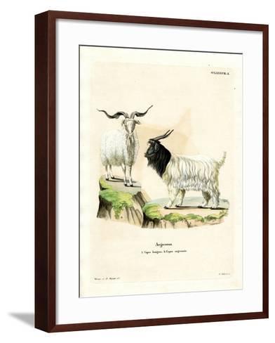 Cashmere Goat--Framed Art Print