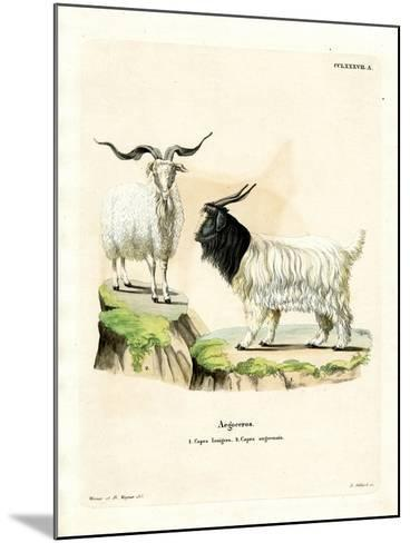 Cashmere Goat--Mounted Giclee Print
