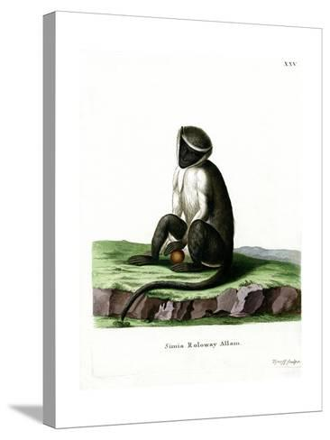Roloway Guenon--Stretched Canvas Print