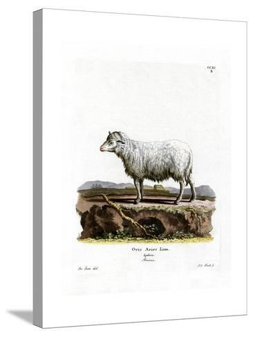 Domestic Sheep--Stretched Canvas Print
