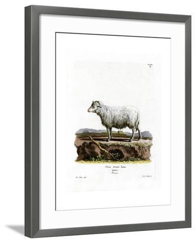 Domestic Sheep--Framed Art Print