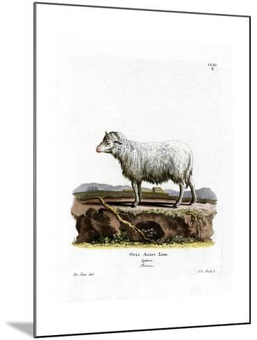 Domestic Sheep--Mounted Giclee Print