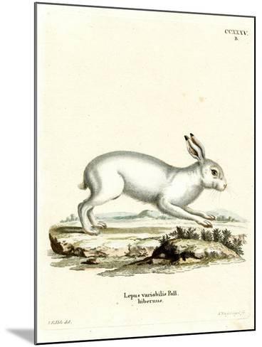 Mountain Hare--Mounted Giclee Print