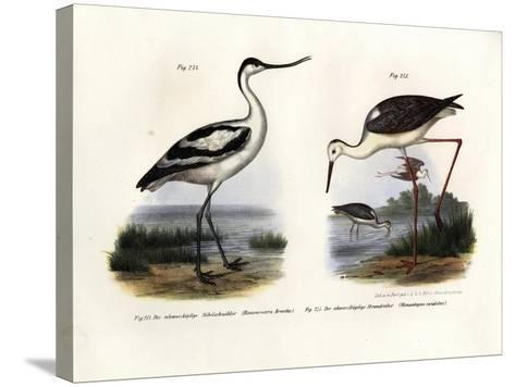 Pied Avocet, 1864--Stretched Canvas Print