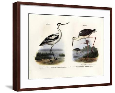Pied Avocet, 1864--Framed Art Print