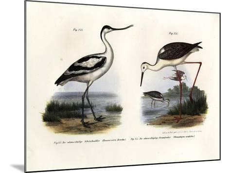 Pied Avocet, 1864--Mounted Giclee Print